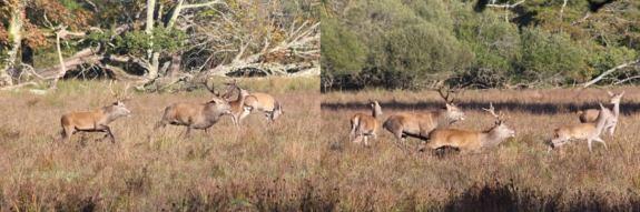 Red deer rut killarney