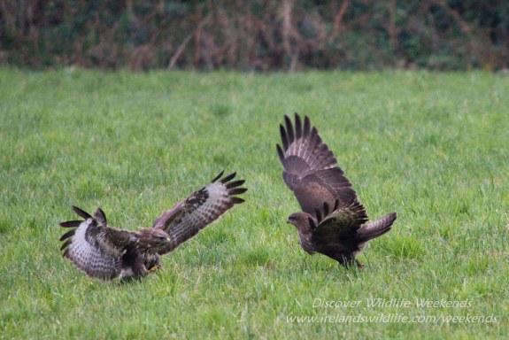 Buzzard encounter West Cork