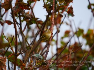 Goldcrest Galley Head