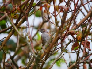 Dunnock Galley Head