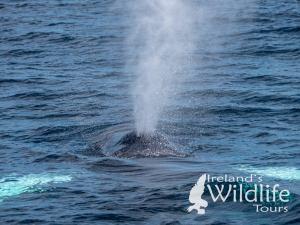 Humpback Whale Ireland's Wildlife Tours