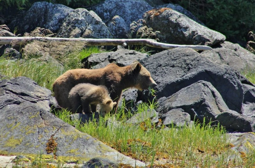 Grizzly met jong Canada