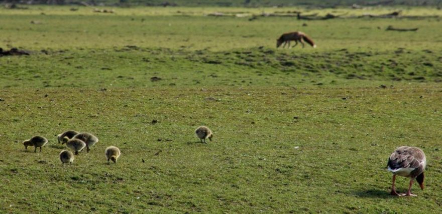 Grauwe ganzen en vos