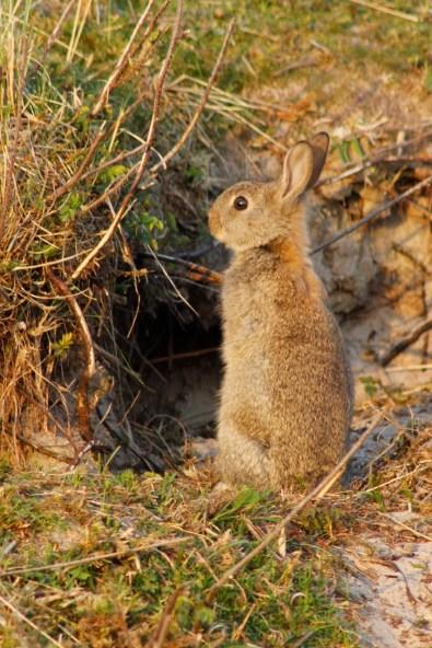 Jong konijn bij hol op Ameland