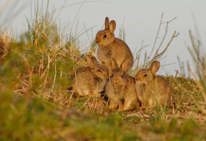 Jonge konijntjes op Ameland