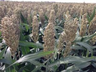 Grain Sorghum 2