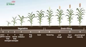 Grain Sorghum Growth Chart