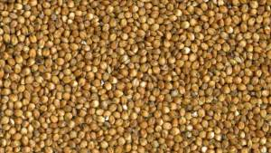 Grain Sorghum Seed close up