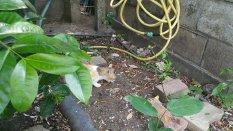 Petunia the gatto eating a gecko