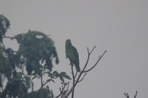 It had just started to rain but if you look close you can see this is a parrot and he had the most beautiful song