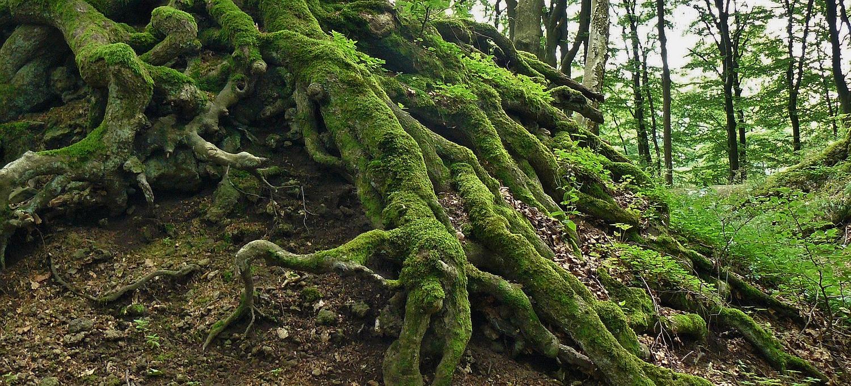 Symbolbild für die Grundlagen einer erfolgreichen Webseite: große, knorrige Baumwurzeln mit Moos bedeckt