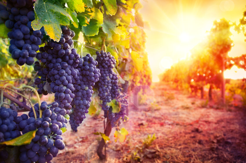 44243974 - vineyard with ripe grapes in countryside at sunset