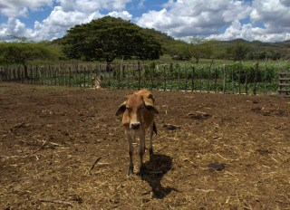 A calf in the coastal region of Guayubín, Monte Cristi. The USAID DR CRII experimental site is comprised of upland and coastal Northwestern municipalities including Monte Cristi, Valverde, Dajabon, and Santiago Rodriguez, where a significant percentage of milk for local consumption is produced. Photo: Radost Stanimirova/IRI
