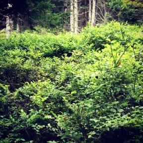 Heidenbeeren Wald