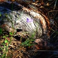 Wurzel Waldblume