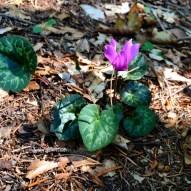 Cyclamen purpurascens Alpenveilchen