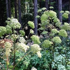 Waldblume weiss