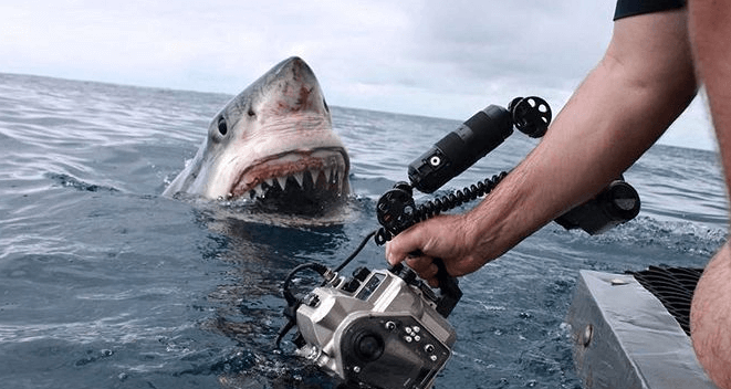 Shark close up: curious great white shark almost touches the lens