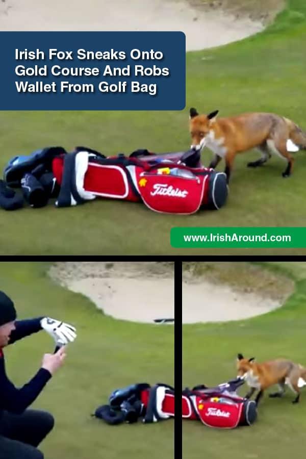 Fox-Irish-PIN-Irish fox sneaks onto golf course