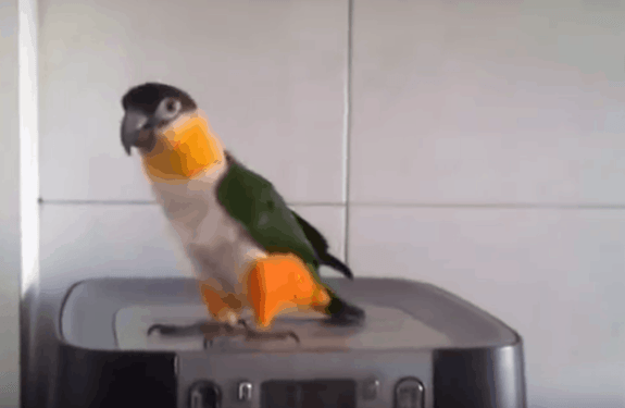 The Dancing Irish Parrot Will Bring A Smile To Your Face