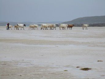 Moving the cows at low tide