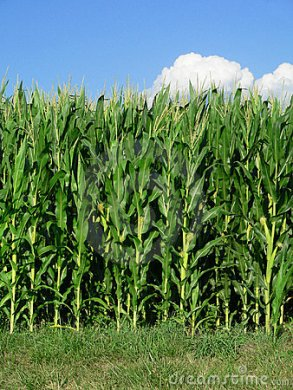 edge-corn-field-184492