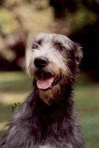 Araberara Hibra irish wolfhound