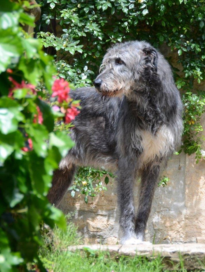 Araberara Pighes, irish wolfhound