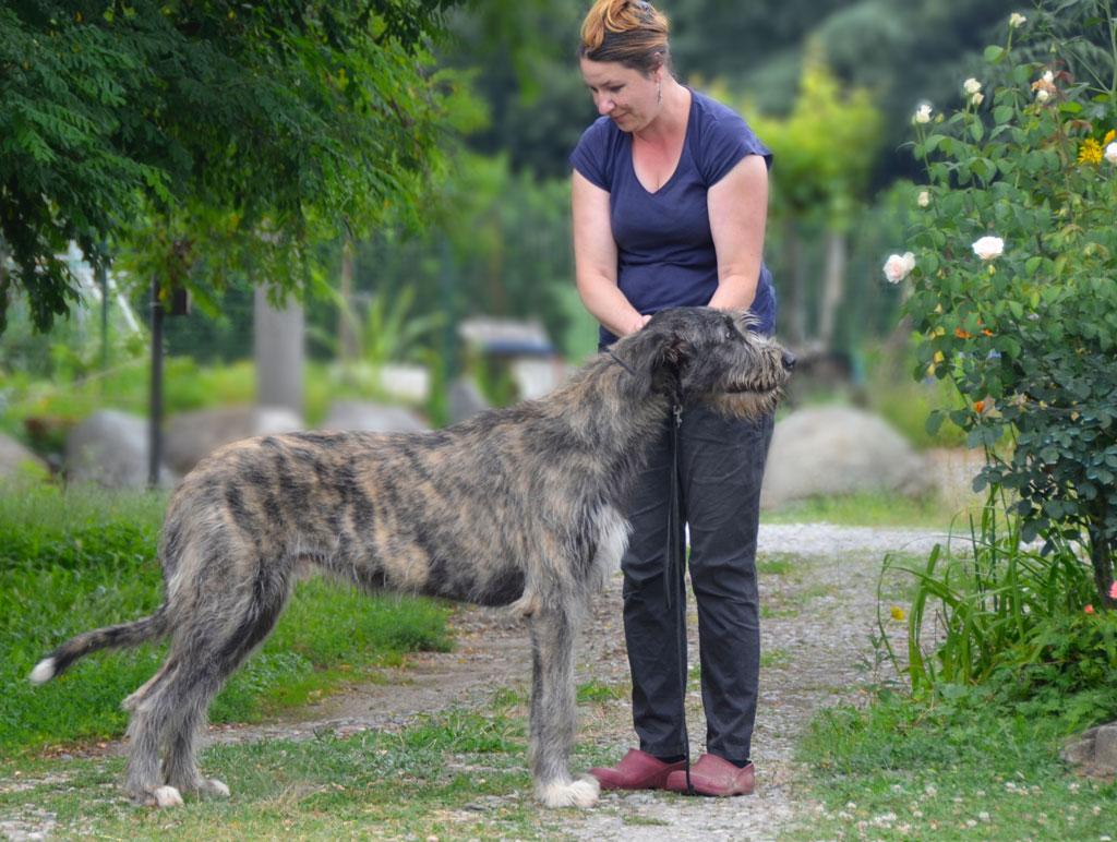 Giovane maschio di irish wolfhound.