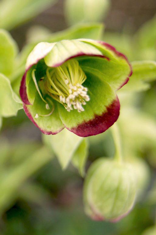 Palmblatt-Schneerose, Helleborus foetidus, Garten Blog