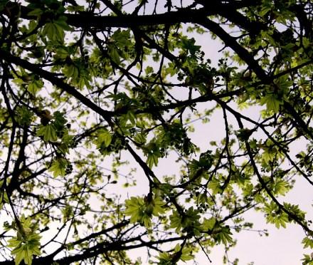 Acer platanoides (Spitzahorn)