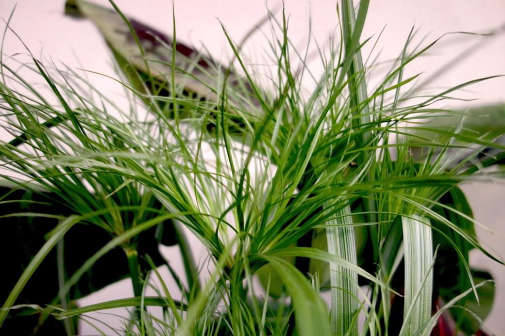 Cyperus haspan (Zwergpapyrus)