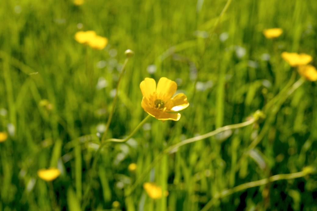 Ranunculus acris (Scharfe Hanenfuss)