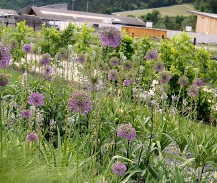 Allium aflatunense (Kugellauch)