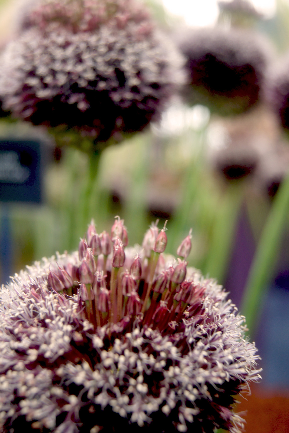 Allium Hybride 'Forelock' (Zier-Lauch)