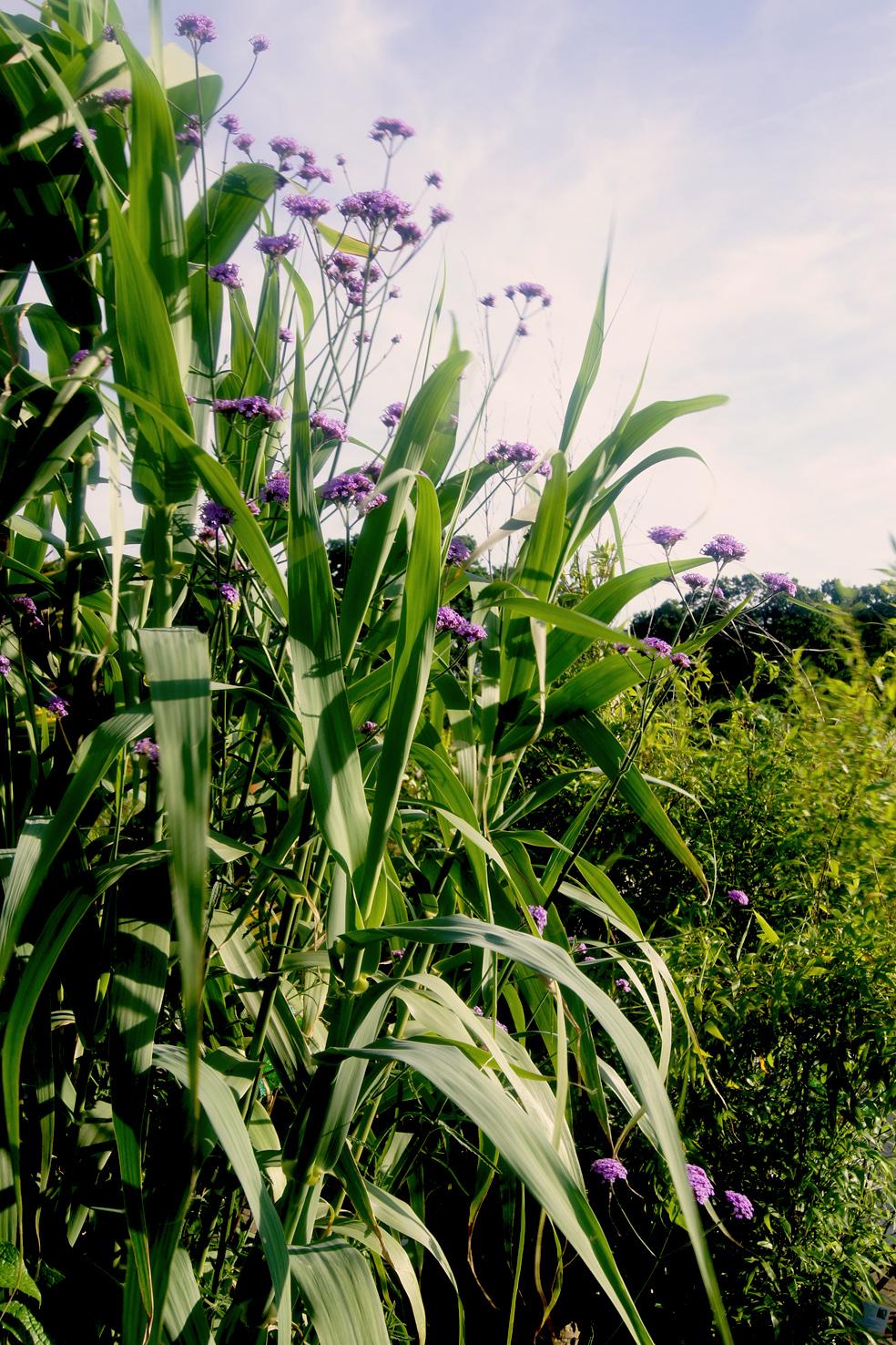 Arundo donax (Riesenschilf) & Verbena bonariensis (Eisenkraut)