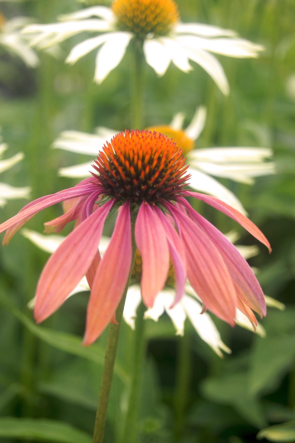 Echinacea 'Sussex Prairie Seedling' (Sonnenhut)