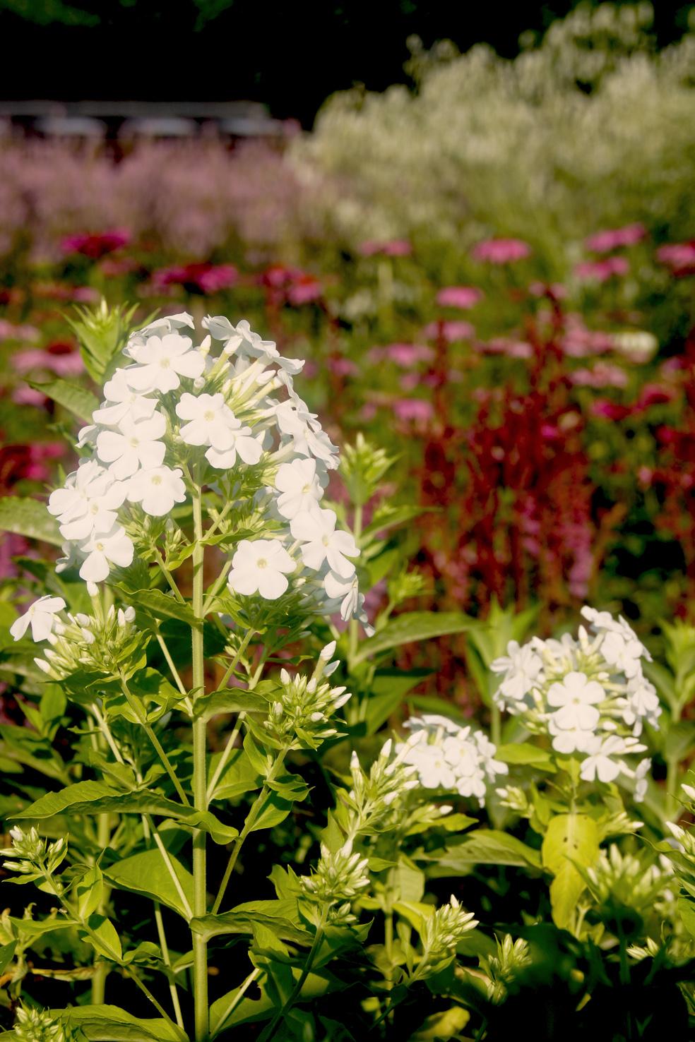 Phlox paniculata 'White Admiral' (Hohe Garten-Flammenblume)
