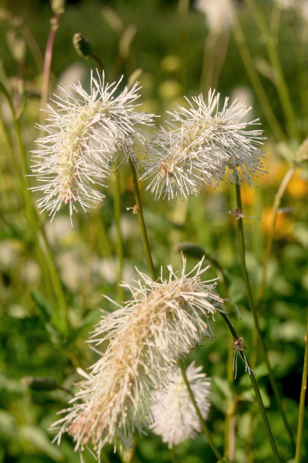 Sanguisorba albiflora (Weisser Wiesenknopf)