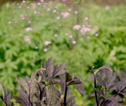 Thalictrum delavayi 'Splendid' und Actaea simplex 'Brunette'