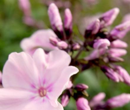 Phlox paniculata 'Rosa Pastell' (Sommer-Phlox)