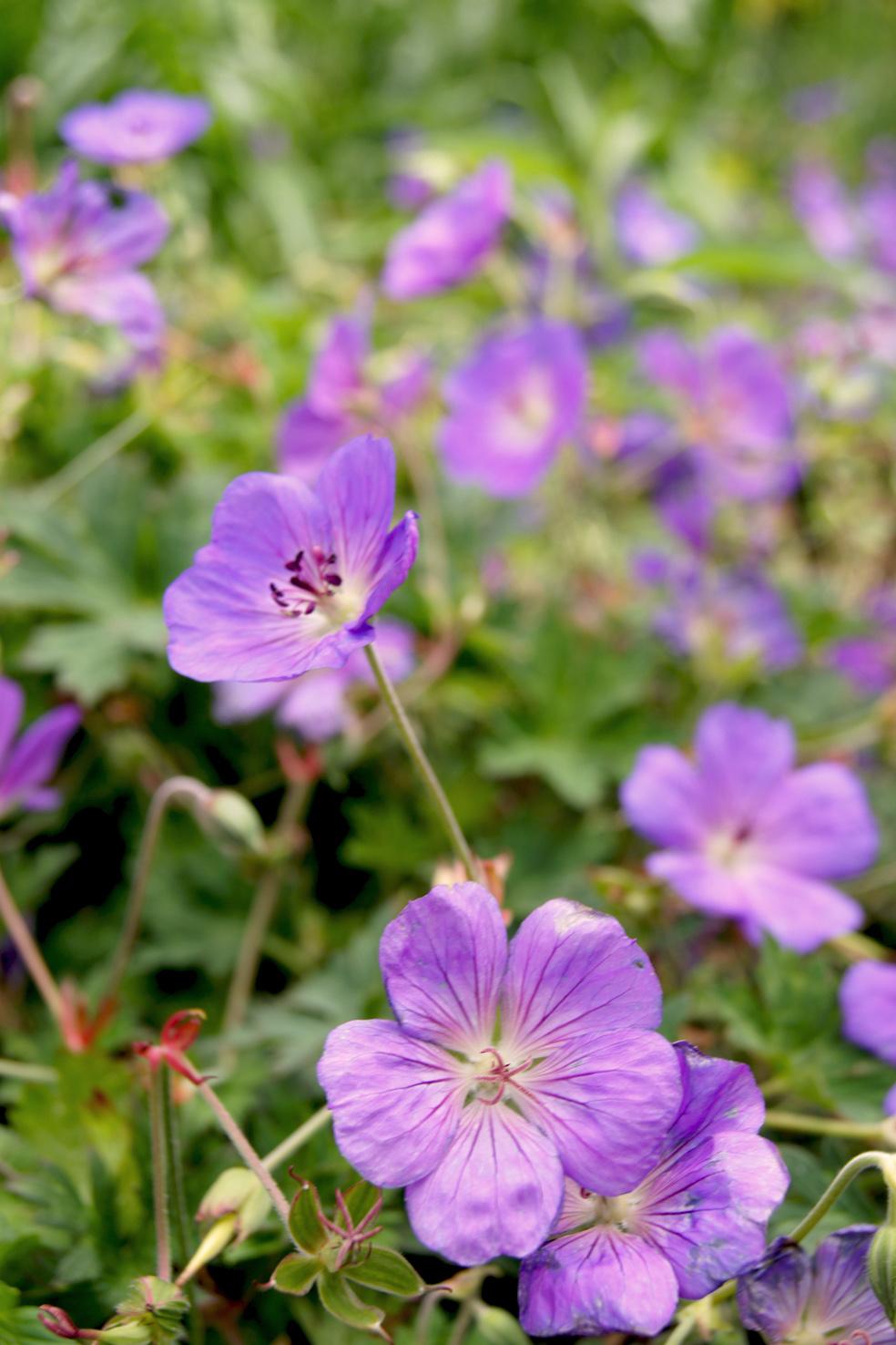 Geranium 'Rozanne' (Storchenschnabel)