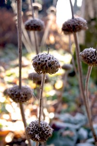Phlomis russeliana (Brandkraut)