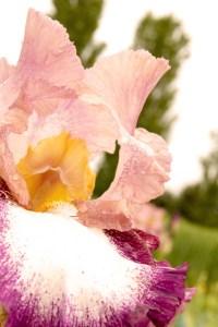 Iris barbata-elatior 'Change of Pace' (Garteniris)