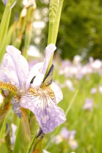Iris sibirica 'Sparkle' (Sibirische Schwertlilie)