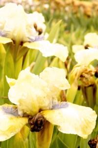 Iris 'Sarah Taylor' (Steingarteniris)
