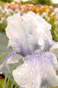 Iris barbata 'Drummer Boy' (Mittelhohe Iris)