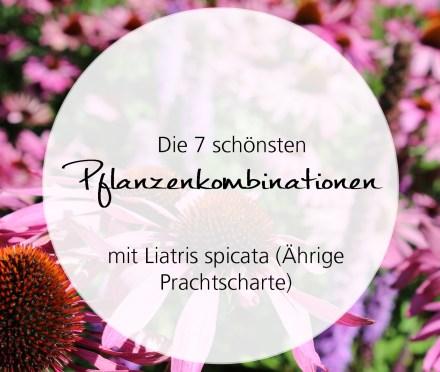 Pflanzenkombinationen mit Liatris spicata