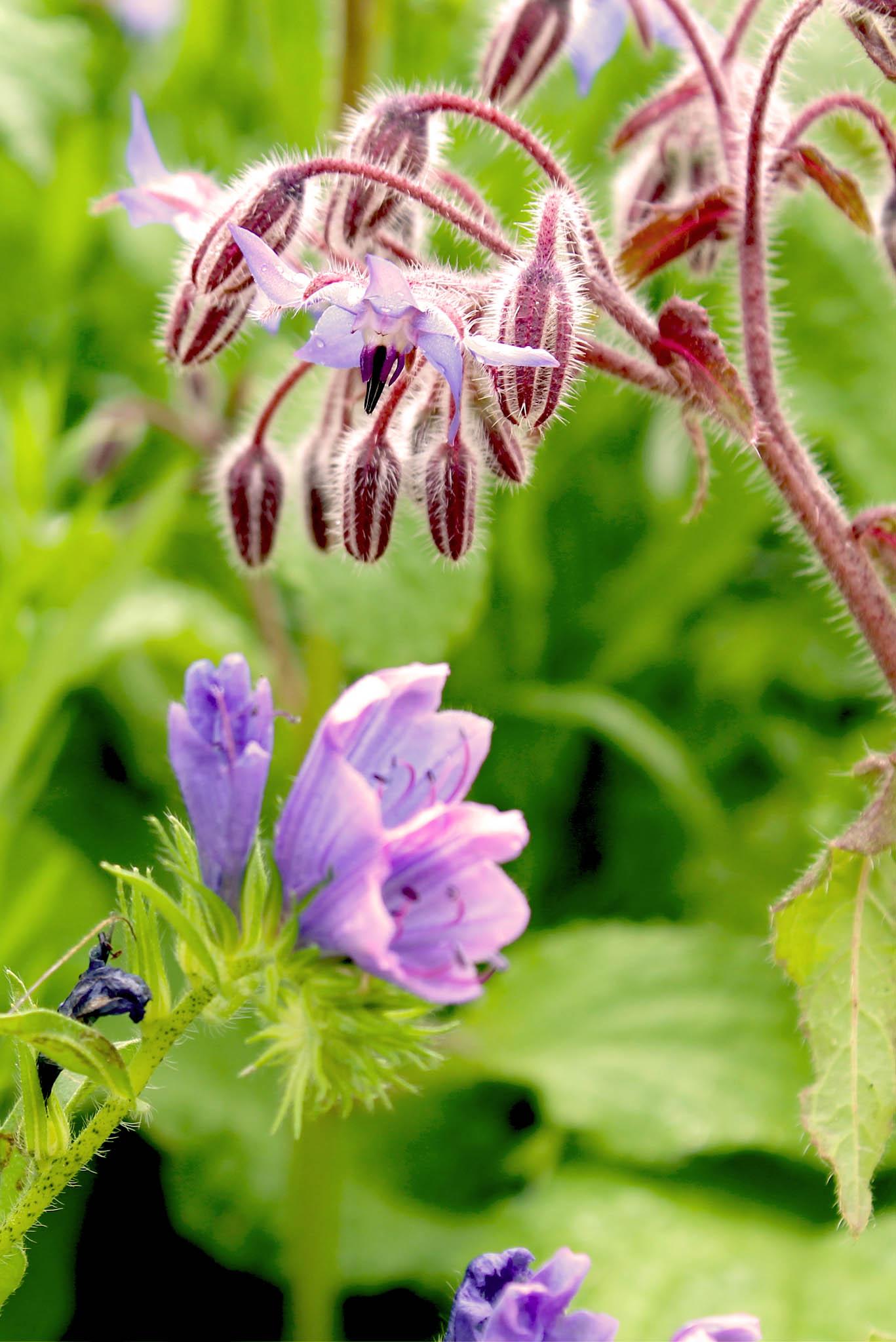 Wildkräuter im Hidcote Manor Garden | 5 Gartenideen von Hidcote Manor Garden