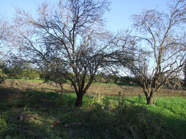 עצי שקד בשלכת